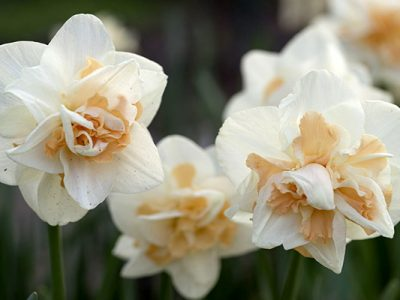 NarcissusDelnashaughAbbonamenti