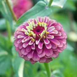 Zinnia-Queen-Red-Lime