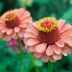 Zinnia-queen-orange-lime