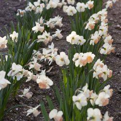 DaffodilsFullBloom